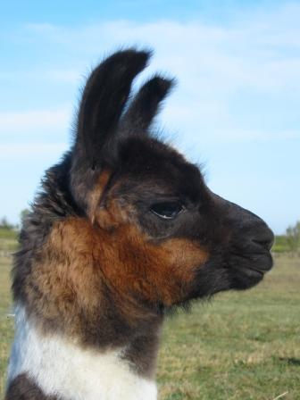 OPALE, lama femelle medium, née le 22 septembre 2009